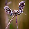 papillon mont césar12