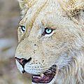 lion yeux bleu teteargfho1_500