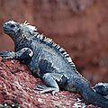 L'iguane marin des galápagos compte cinq nouvelles sous-espèces !