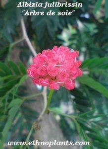 arbre-a-soie