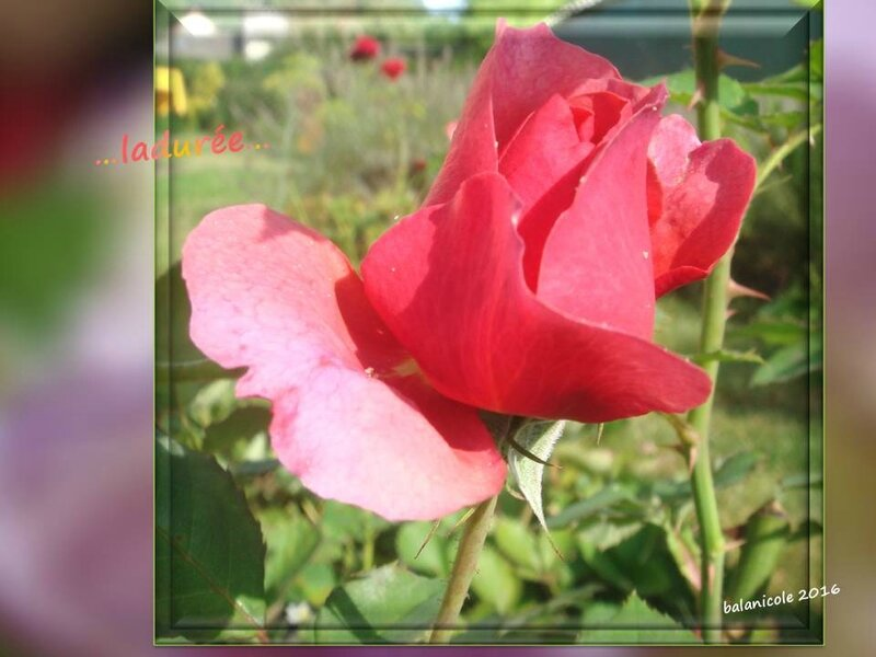 balanicole_2016_11_les nouveaux rosiers de balanicole_L comme ladurée_01