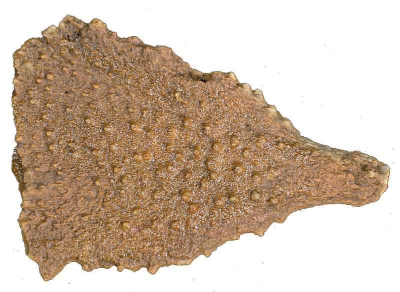 Dickesicidaris copeoides EM40145r