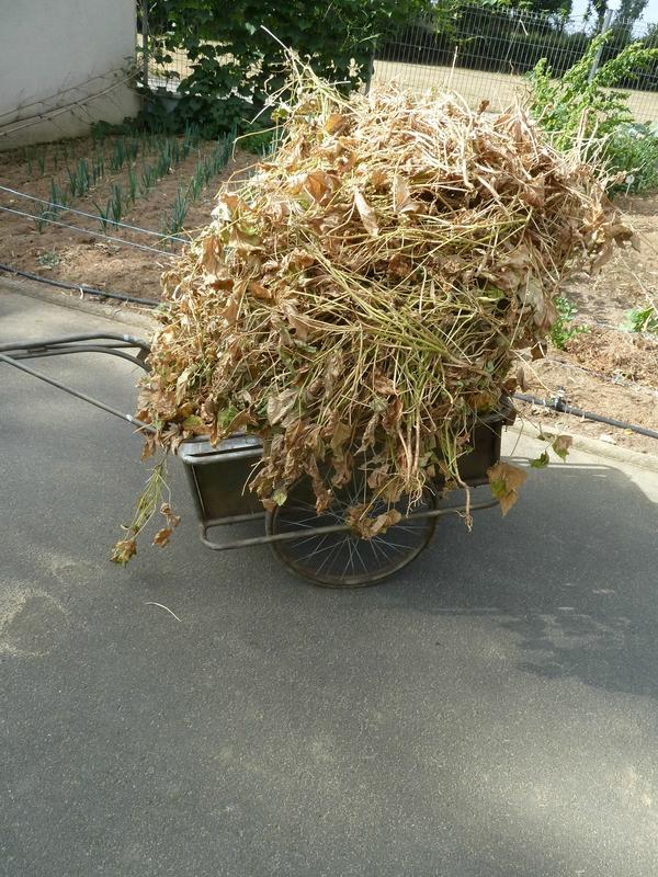 10-paillage haricots secs (2)