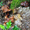 Collybia fusipes (1)