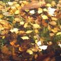 feuilles sur eau trouble
