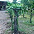 maison locale_nuit 2 chez l'habitant_plante à fruit du dragon_01