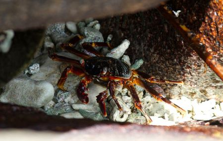Crabe-Ile-aux-Nattes