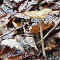Hymenopellis radicata (1)