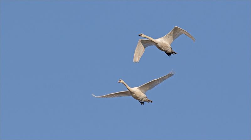 oiseaux cygnes vol ciel bleu 240219
