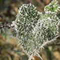 feuille en coeur gelée