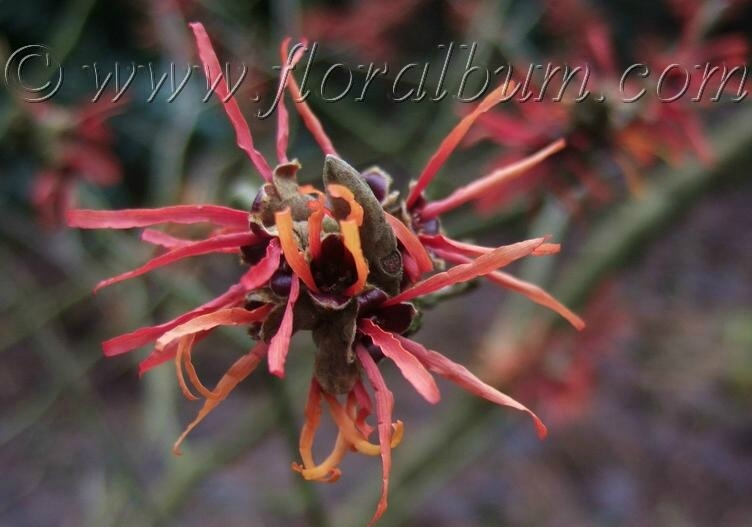 Hamamelis x intermedia ' Twilight'