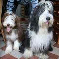 chiens à couettes
