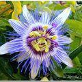 Fleur de la passion bleue...