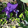 Iris 1602162