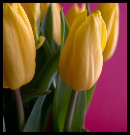tulipes_jaunes
