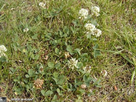 Tréfle blanc • Trifolium repens