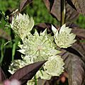 fin juin astrantia major(9)