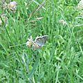 Azuré de la Bugrane (Polyommatus icarus) mâle