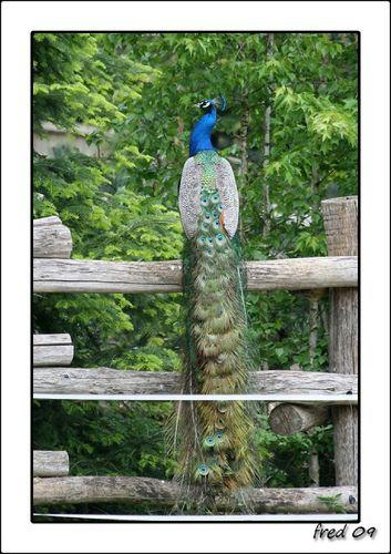 Paon bleu (Pavo cristatus)