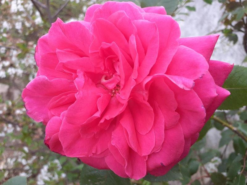 Rose Jardin 1
