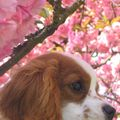 ckc cavalier king charles CHARLY