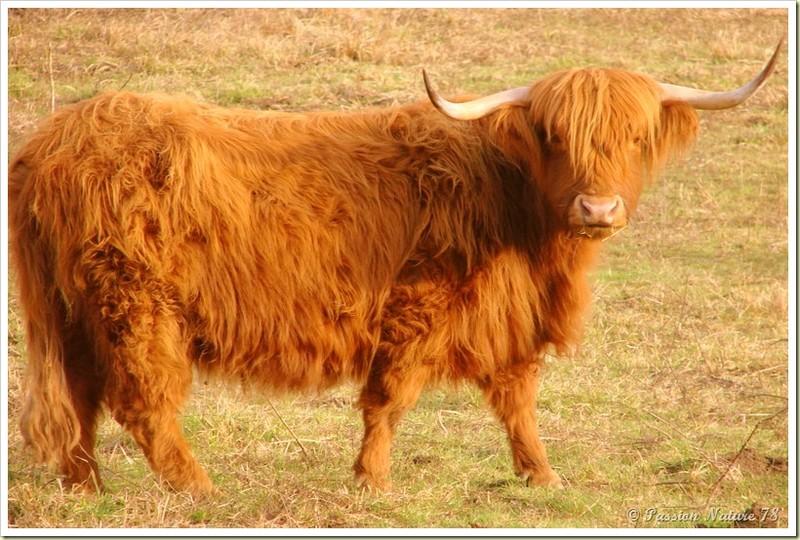 La vache de race Highland (5)