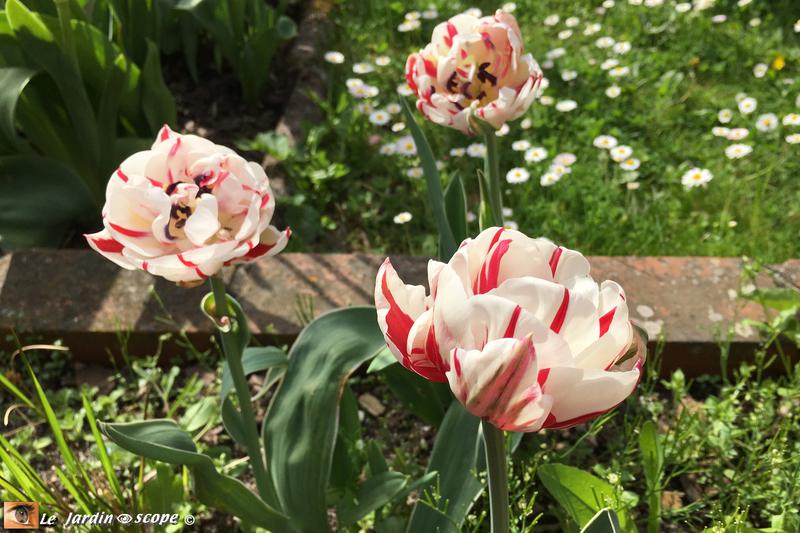 Tulipes-Carnaval-de-Nice-3
