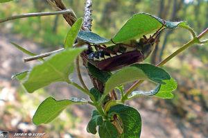 Hanneton commun • Melolontha melolontha