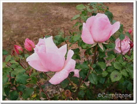 Roses et boutons