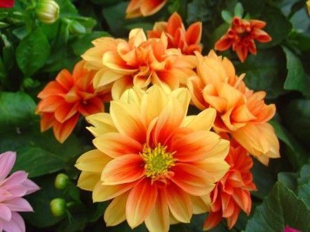 cover_dalhia_orange