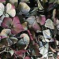 Déco fleurie : boules d'hortencias