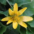2008 04 21 2008 04 21 Une fleur jaune couvre sol, nom inconu