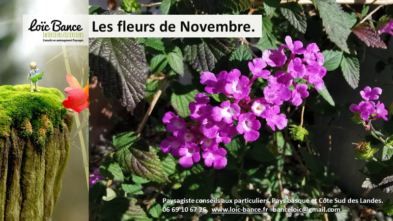 Lantana-sellowiana -Violet-Paysagiste-Pays-Basque-Paysagiste-Landes-loic-Bance-Paysagiste-conseils-aux-particuliers-1