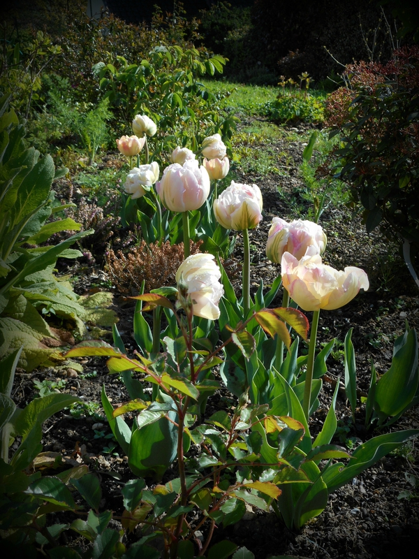 tulipes tardives