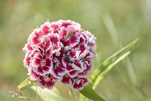 fleurs_oeillet_du_po_te_sweet_william_3444994__340