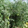 2008 08 18 Mes tomates sous serre
