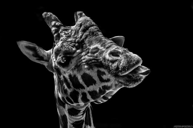 La girafe (2)