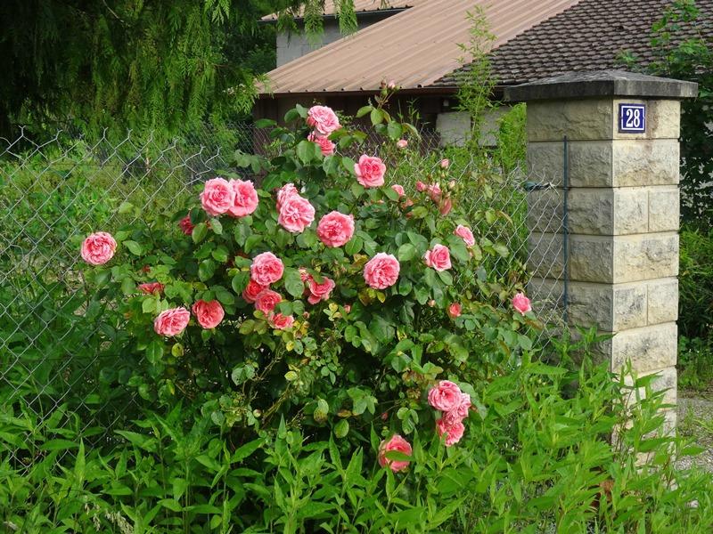 rosier sur la rue