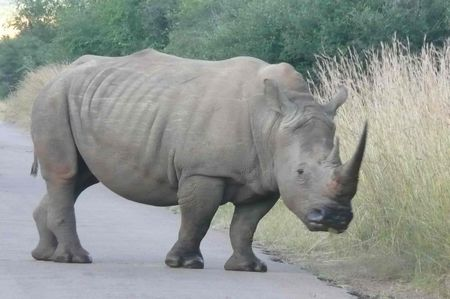 matin_1_rhino
