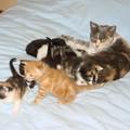2008 04 05 Papillon avec tous les petits chatons de 2 semaines et 23 jours