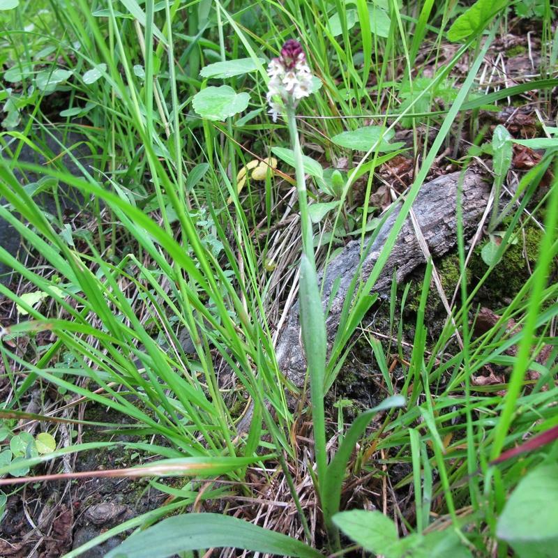 15- Orchis brûlé - plante