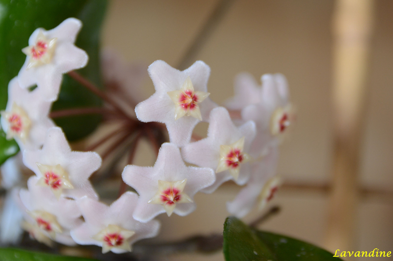 fleurs de porcelaine 06 18 (6)