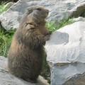 marmotte des Alpes (1)