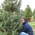 Christmas tree cutting...