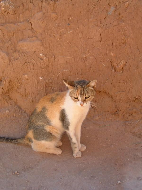 Chat au ksar Aït-Benhaddou