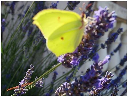 papillons lavande by sylviam
