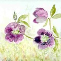 Roses de Noêl