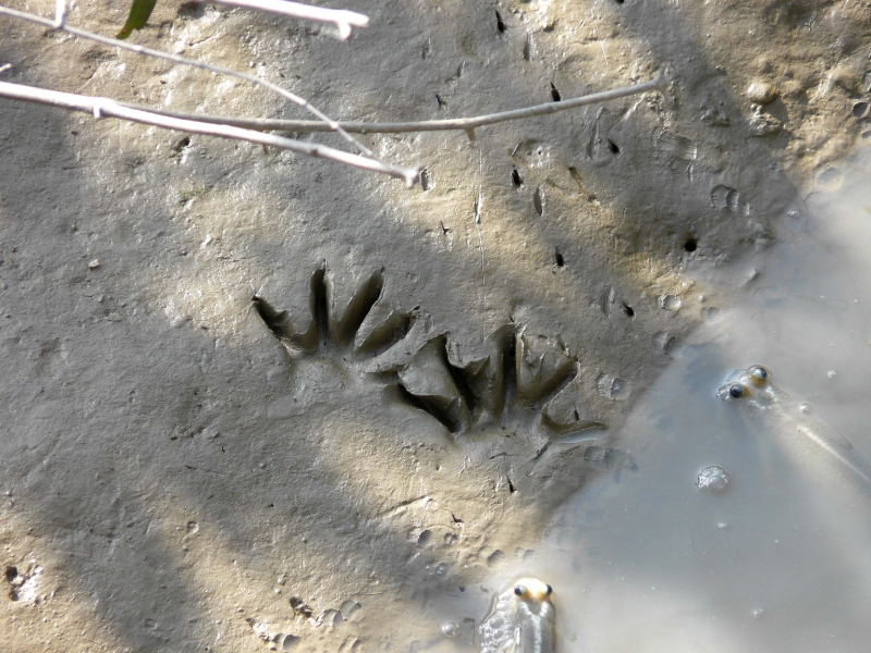Traces de raton crabier