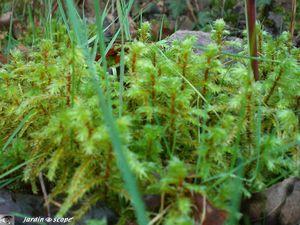 Mousse Hylocomium brevirostre
