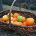 C'est la saison des oranges
